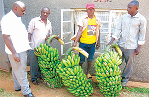 New matooke variety empowers households